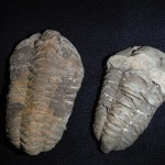 Real Moroccan trilobite fossils