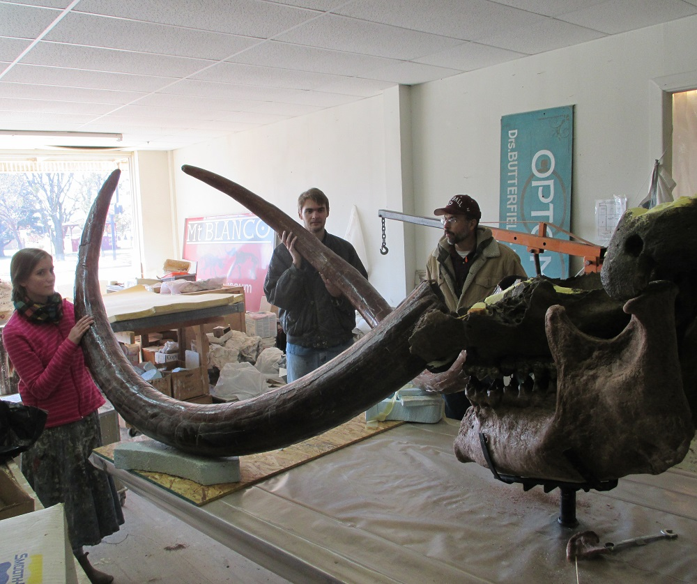 Progress on the mastodon skull restoration project continues . . . Testing out how the tusks will fit in the skull and stand. Also desigining and measuring for support strcutues