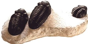 3 phaecops trilobites on one slab replica