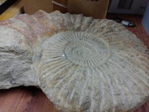 "Large Ammonite 14"" x 18"""