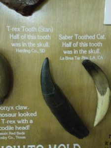 T-rex and Saber Toothed Cat teeth